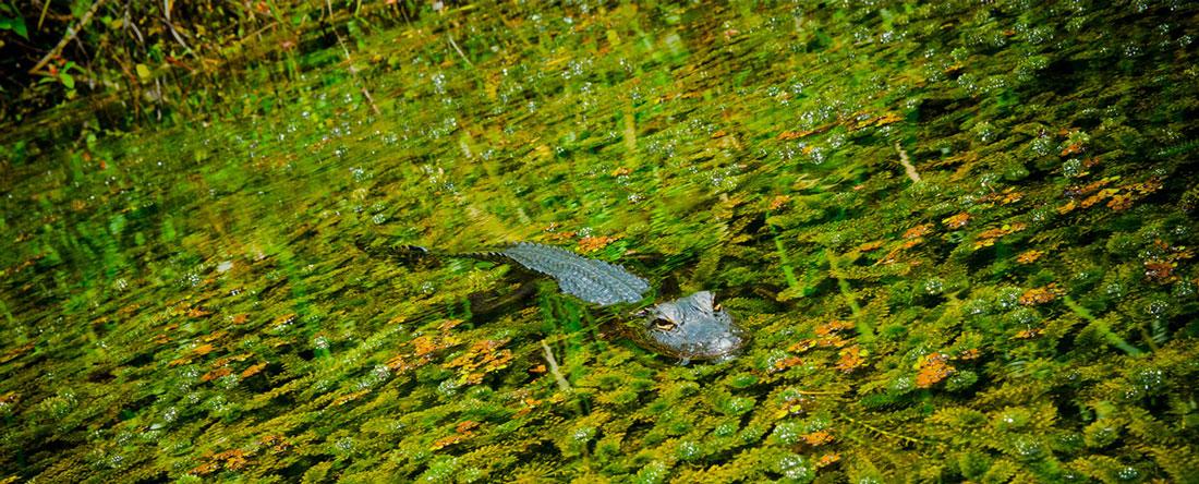 Un simpatico coccodrillo nel suo ambiente naturale, le Everglades, Miami