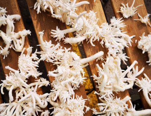 Le proprietà isolanti del Micelio, un fungo che cresce proteggendo le superfici che ricopre